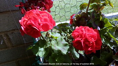 Geranium (Double red) on balcony on 1st day of summer 2019 (D@viD_2.011) Tags: geranium double red balcony 1st day summer 2019