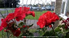 Geranium (Single & double red) on balcony on 1st day of summer 2019 (D@viD_2.011) Tags: geranium single double red balcony 1st day summer 2019