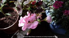 Geranium 'Black Prince' on balcony on 1st day of summer 2019 001 (D@viD_2.011) Tags: geranium black prince balcony 1st day summer 2019