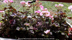 Geranium 'Black Prince' on balcony on 1st day of summer 2019 002 (D@viD_2.011) Tags: geranium black prince balcony 1st day summer 2019