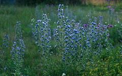 Blauer Natternkopf, (Echium vulgare) IMGP5728 (_Andreas_R_) Tags: natternkopf echium vulgare
