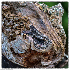 Monsterface - Old Tree (J.Weyerhäuser) Tags: wood tree monster square structures rheinufer bingen strukturen baumstumpf