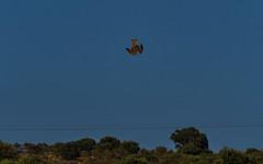 Picado (IvánBueno) Tags: picado milanocomún ave pájaro mzuiko75300mm