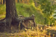 By the lake (mariavolskaya) Tags: nature tree grass landscape bokeh manualfocus canon helios helios40 85mm