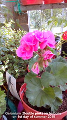 Geranium (Double pink) on balcony on 1st day of summer 2019 (D@viD_2.011) Tags: geranium double pink balcony 1st day summer 2019