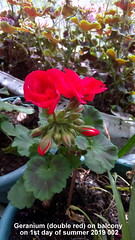 Geranium (double red) on balcony on 1st day of summer 2019 002 (D@viD_2.011) Tags: geranium double red balcony 1st day summer 2019