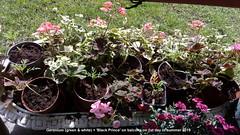 Geranium (green & white) + 'Black Prince' on balcony on 1st day of summer 2019 (D@viD_2.011) Tags: geranium green white black prince balcony 1st day summer 2019