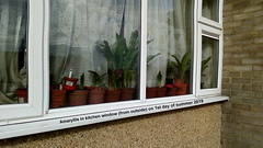 Amaryllis in kitchen window (from outside) on 1st day of summer 2019 (D@viD_2.011) Tags: amaryllis kitchen window from outside 1st day summer 2019