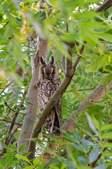 Long eared owl (jolanda den hartog) Tags: bird birds nikon sigma owl alblasserwaard longearedowl uil alblasserdam ransuil sigma150600mm nikond7200 jolandadenhartog asiootus lightroom