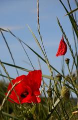 DSCN6818 (Bertrand Brisset) Tags: fleurs flowers cotentin lahague bertrandbrisset