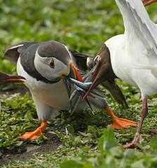 DSC_4635 (bonser54) Tags: farne islands puffins gulls wildbirds water
