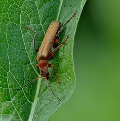 02_beetle_141B+Raynox-150 (bernardo7777) Tags: jörg bernhard klemmer stacking stack stackshot olympus zuiko 60mm wildlife breckting insekten microfotografie makro m