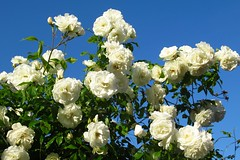 A good year for the roses III (STEHOUWER AND RECIO) Tags: roses rose whiite roos rozen wit sky blue flowers flower flora netherlands nederland holland dutch