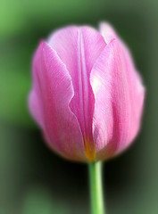 Perfectly Pink (Through Serena's Lens) Tags: smileonsaturday thinkpink closeup macro tulip pink plant flora flower outdoor nature