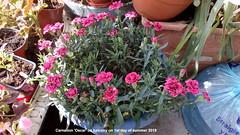 Carnation 'Oscar' on balcony on 1st day of summer 2019 (D@viD_2.011) Tags: carnation oscar balcony 1st day summer 2019