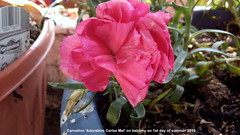 Carnation 'Adorables Cerise Mel' on balcony on 1st day of summer 2019 (D@viD_2.011) Tags: carnation adorables cerise mel balcony 1st day summer 2019