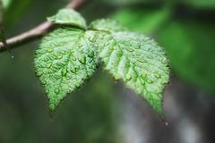 *** (pszcz9) Tags: przyroda nature natura naturaleza zbliżenie closeup liść leaf kropla raindrop bokeh beautifulearth sony a77