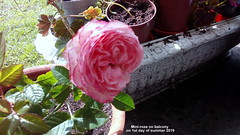 Mini-rose on balcony on 1st day of summer 2019 (D@viD_2.011) Tags: minirose balcony 1st day summer 2019