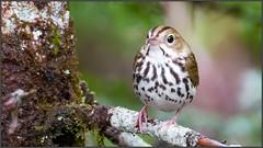 (c)WMH_2019_06_17_8583 Ovenbird (WesleyHowie) Tags: ovenbird birds provincialpark canada location wildlife jerrylawrenceprovincialpark novascotia