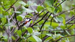 (c)WMH_2019_06_17_8410 Chestnut-sided Warbler (WesleyHowie) Tags: provincialpark wildlife birds chestnutsidedwarbler canada location warbler jerrylawrenceprovincialpark novascotia