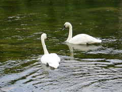 Beautiful Swans Swimming at a Lake in Montana State (Relaxed6) Tags: swans white birds swimming lake water garden park zoo fun entertainment family kids montana day outside naturephotography natur naturaleza sx260 us usa unitedstates