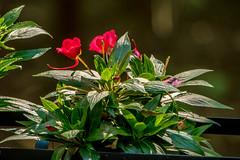 DILO - Summer Solstice June 21 2019 (18) (tommaync) Tags: dilojun2019 june 2019 june212019 nikon d7500 northcarolina nc summer summersolstice solstice chathamcounty chatham home nature flowers blooms leaves red green deckplanter planter
