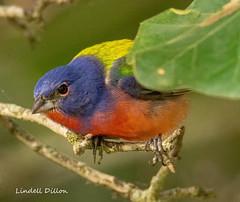 Painted Bunting (Lindell Dillon) Tags: paintedbunting neotropical bird birding nature oklahoma crosstimbers wildoklahoma