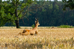 Jumping (rplodz) Tags: canon europe 7d 120400mm poland polska sarna sarny deer chevreuil capreolus capreoluscapreolus roedeer wildlife wildlifephotography nature natura przyroda
