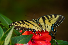 DILO - Summer Solstice June 21 2019 (28) (tommaync) Tags: dilojun2019 june 2019 june212019 nikon d7500 northcarolina nc summer summersolstice solstice chathamcounty chatham home nature flower red butterfly wildlife