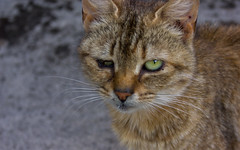 Cat (Ronan McCormick) Tags: ilobsterit canon ireland cat cats catsofflickr stray