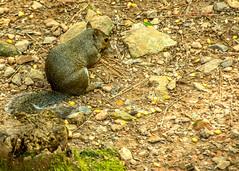 DILO - Summer Solstice June 21 2019 (24) (tommaync) Tags: dilojun2019 june 2019 june212019 nikon d7500 northcarolina nc summer summersolstice solstice chathamcounty chatham home nature animal wildlife squirrel
