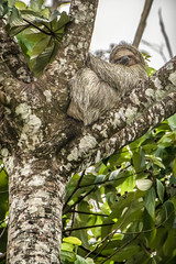 Roadside sloth (helenehoffman) Tags: uncruiseadventures costaricapanama2019 conservationstatusleastconcern costarica mammal costaricantrails bradypusvariegatus arenalvolcanonationalpark arboreal sloth 3toedsloth brownthroated3toedsloth animal