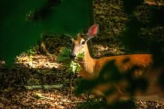 DILO - Summer Solstice June 21 2019 (21) (tommaync) Tags: dilojun2019 june 2019 june212019 nikon d7500 northcarolina nc summer summersolstice solstice chathamcounty chatham home nature animals wildlife deer