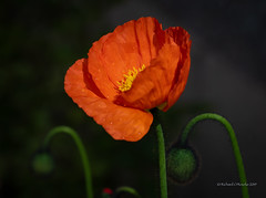 raindrop flower (Rourkeor) Tags: mzuikodigitaled12100mm140ispro omdem1markii olympus scotland uk bloom blossom colourful depthoffield floral flower m43 mft microfourthirds nature orange vibrant