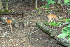 DILO - Summer Solstice June 21 2019 (3) (tommaync) Tags: dilojun2019 june 2019 june212019 nikon d7500 northcarolina nc summer summersolstice solstice deer animals wildlife nature chathamcounty chatham