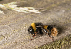 Bee (Bombus pratorum) (Dibbly Dobbler) Tags: bee bombus pratorum macro sonya7rii 90mm