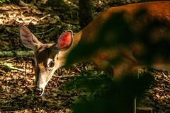 DILO - Summer Solstice June 21 2019 (22) (tommaync) Tags: dilojun2019 june 2019 june212019 nikon d7500 northcarolina nc summer summersolstice solstice chathamcounty chatham home nature animals wildlife deer