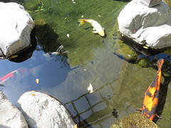 Several Fish in the Japanese Friendship Garden in San Diego (Relaxed6) Tags: fish colorful rocks lake water garden park fun entertainment family kids relaxing japanese san california friendship diego day outside naturephotography natur naturaleza sx260 us usa japanesefriendshipgarden sandiego unitedstates