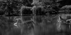 Web great egret & boy (mtschappat@verizon.net) Tags: great egret central park nyc sony rx100m4