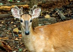 DILO - Summer Solstice June 21 2019 (4) (tommaync) Tags: dilojun2019 june 2019 june212019 nikon d7500 northcarolina nc summer summersolstice solstice deer animals wildlife nature chathamcounty chatham