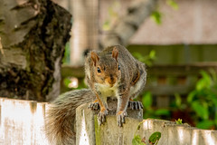 Squirrel (jad051171) Tags: westmolesey england unitedkingdom surrey garden squirrel