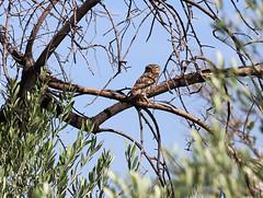 Little Owl (Wild Chroma) Tags: athene noctua athenenoctua owl spain birds nonpasserines