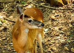 DILO - Summer Solstice June 21 2019 (23) (tommaync) Tags: dilojun2019 june 2019 june212019 nikon d7500 northcarolina nc summer summersolstice solstice chathamcounty chatham home nature animals wildlife deer