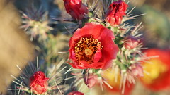 A Pretty Prickly Personality (VGPhotoz) Tags: vgphotoz opuntia cactus pricklypearcactus thorns macro pollen red southwest plants arizona usa flickr yahoo nature image print picture photo photography americanwest canvas native dry desert flora foto floaredecactus cactusflower beauty olympus em1markii m40150mm f28 ƒ35 950 1320 200 2019 spring bloom blossom