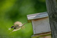 House (sparrow) Cleaning (jwfuqua-photography) Tags: housesparrow birds sparrow nature pennsylvania buckscounty jwfuquaphotography jerrywfuqua