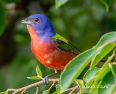 Painted Bunting (Lindell Dillon) Tags: paintedbunting neotropical birds birding nature oklahoma wildoklahoma