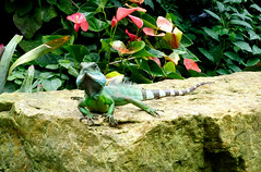 Kew Water Dragon -  Princess of Wales Conservatory (Russtafa) Tags: water dragon kew gardens amphibian hot house nature natural
