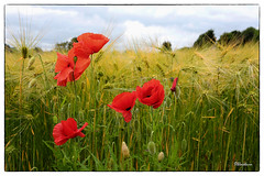 Poppies.. (stblackburn) Tags: northumberland poppies flower field countryside nature uk