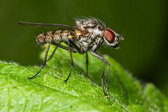 Fly (Shane Jones) Tags: fly diptera insect nature wildlife nikon d810 50mmf18 reversed pk3x2 pk3extensiontube macro macrolife macrophotosnolimits macrolicious
