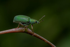 Green Weevil (J-F No) Tags: weevil green insects insectes bugs animal fauna nature macro pentax k1 100mm